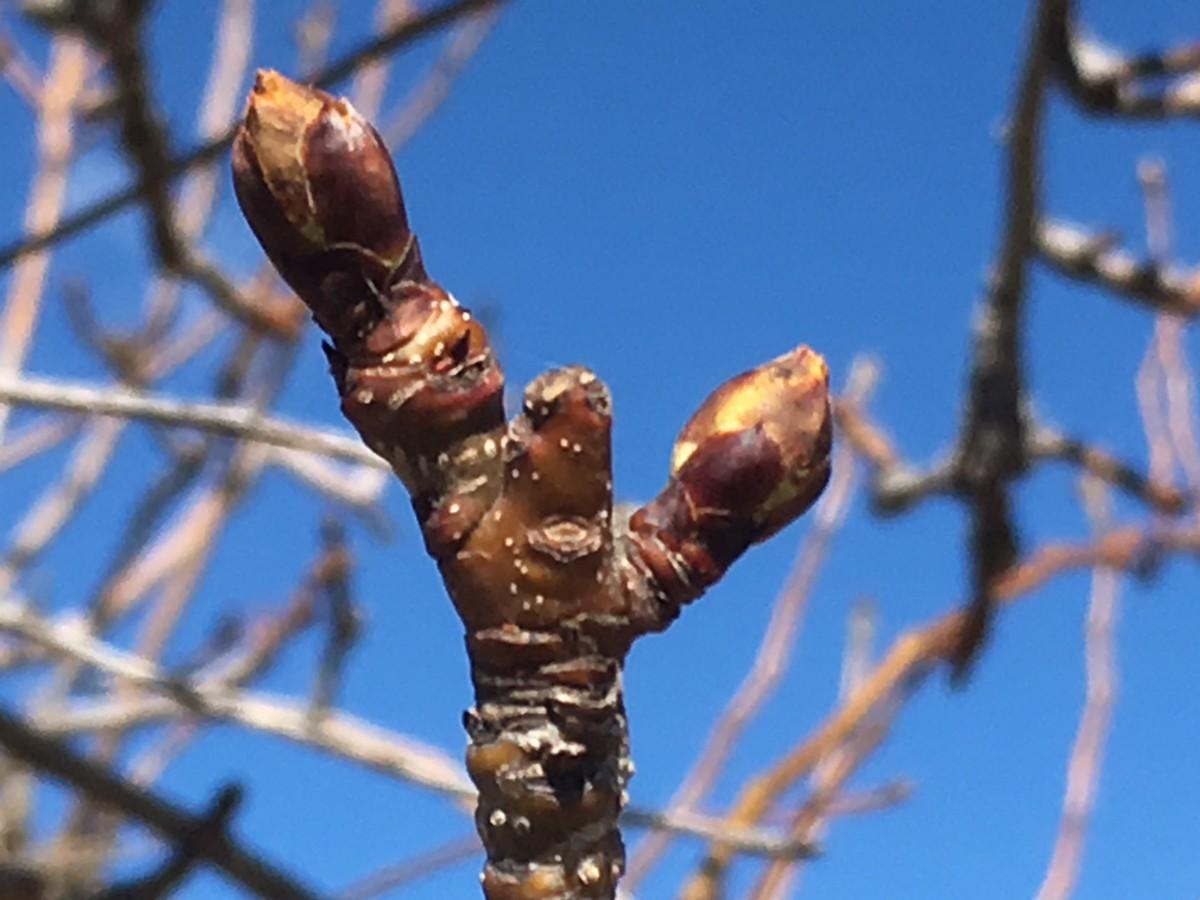 Pear bud 160323